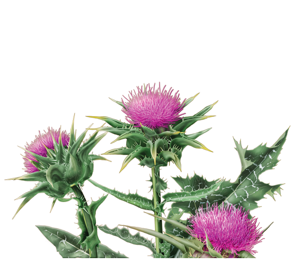 Natural Remedy To Get Rid Of Thistle